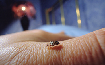 bed bugs effects on babies