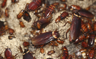 cockroach infestation in karachi