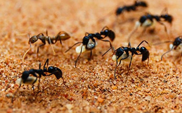 how are ants harmful to humans